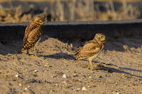 Burrowing Owl and Beetle